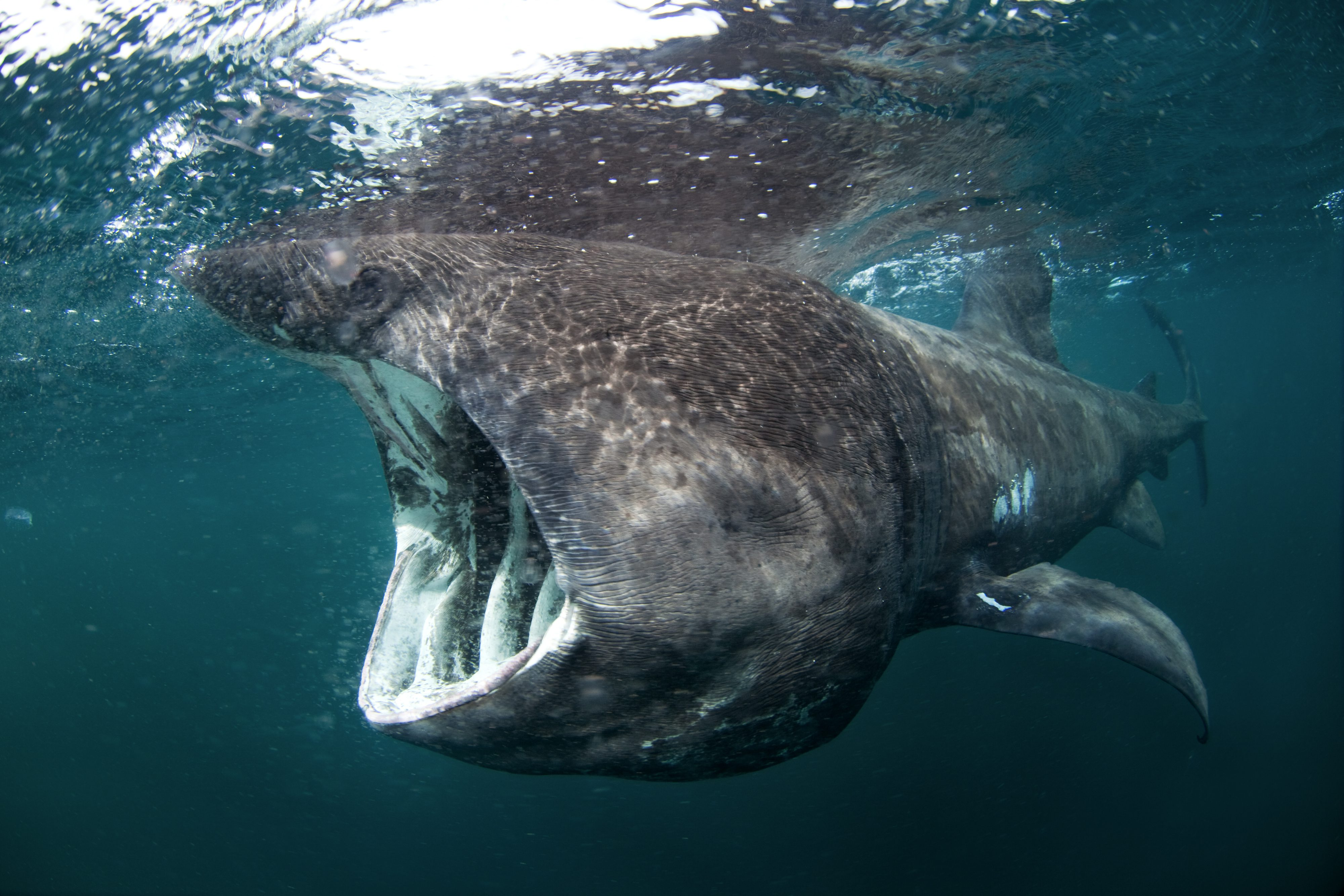 Basking Shark Basking Shark Vs Whale Shark